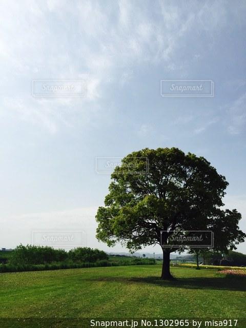 芝生広場の大きな木の写真・画像素材[1302965]