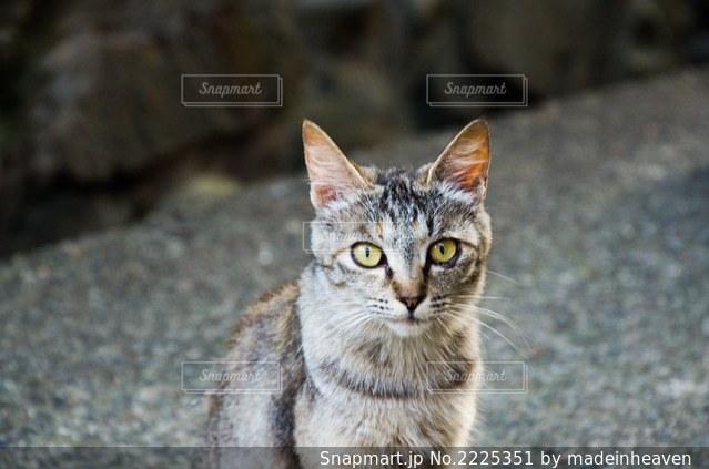 カメラを見ている猫の写真・画像素材[2225351]