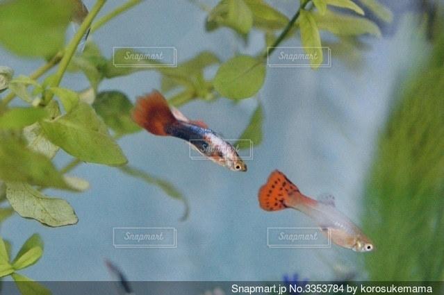 熱帯魚グッピーの写真・画像素材[3353784]