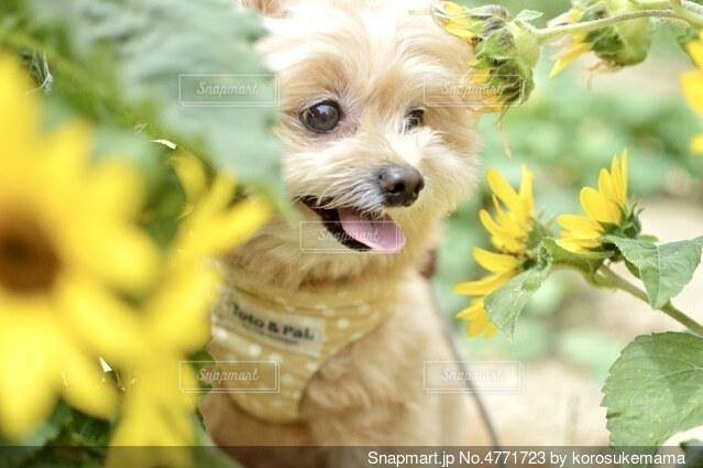ひまわりと犬との写真・画像素材[4771723]