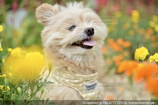 犬とお花の写真・画像素材[4771725]