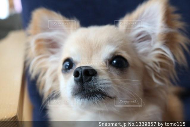 カメラを見て小型犬の写真・画像素材[1339857]