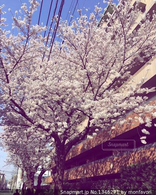 近所の桜の写真・画像素材[1346271]