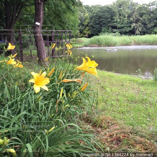 水辺の黄色い花 百合の写真・画像素材[1364224]