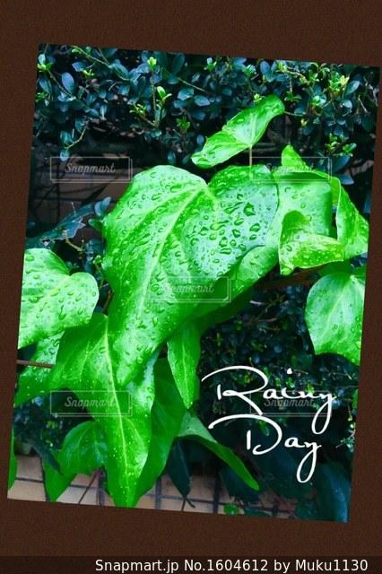 雨上がりの葉の雫の写真・画像素材[1604612]