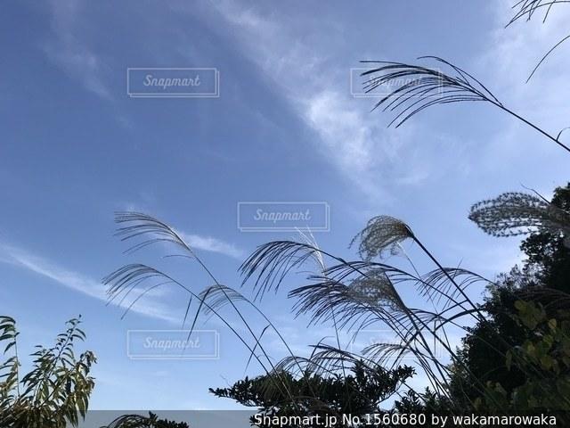 秋の空とすすきの写真・画像素材[1560680]