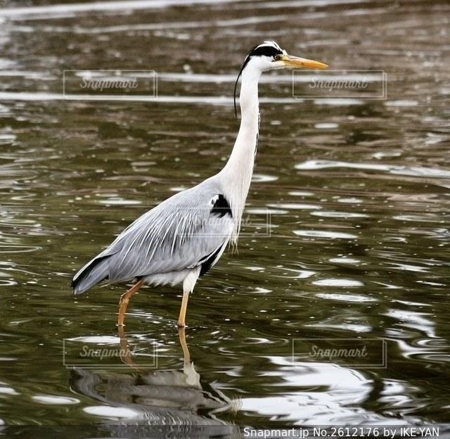 凛と立たずむ水鳥の写真・画像素材[2612176]