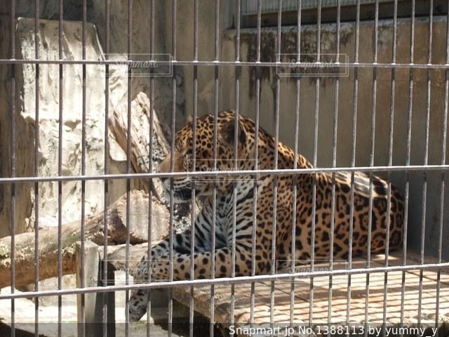 東山動物園ヒョウの写真・画像素材[1388113]