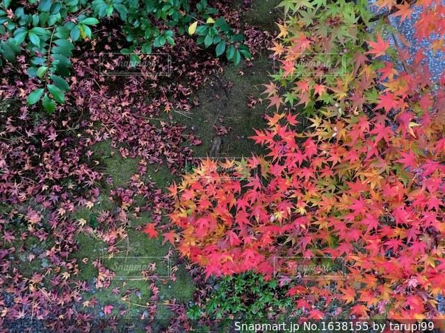 京都嵐山の紅葉の写真・画像素材[1638155]