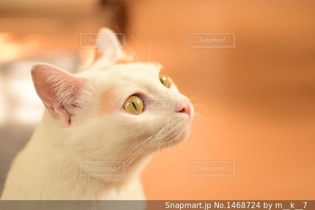 カメラを見ている猫の写真・画像素材[1468724]