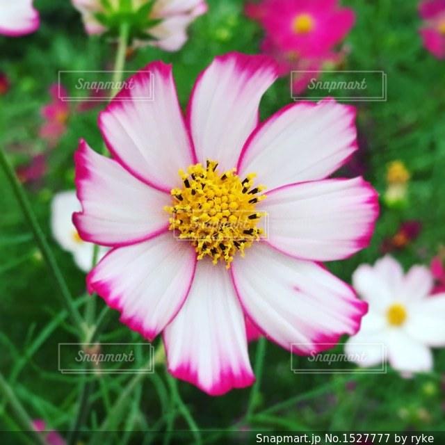 近くの花のアップの写真・画像素材[1527777]