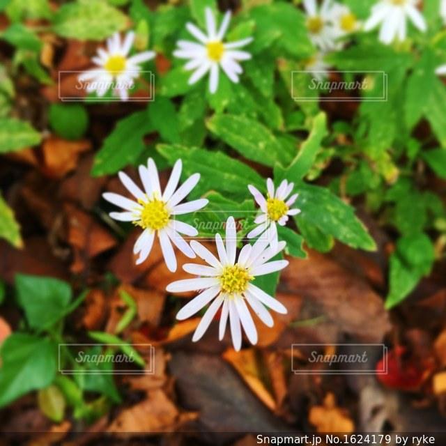 白い花のアップの写真・画像素材[1624179]