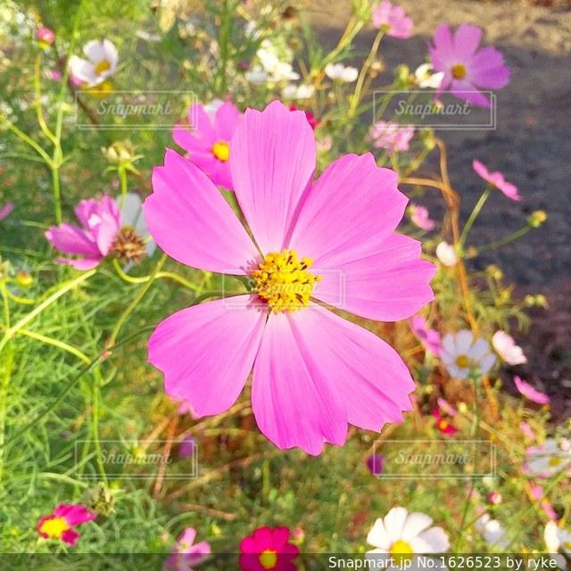 ピンクの花の写真・画像素材[1626523]