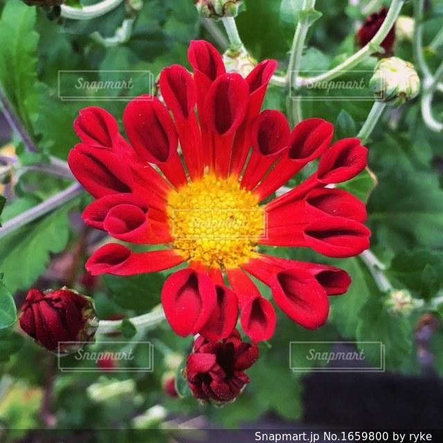 近くの赤い花のアップの写真・画像素材[1659800]