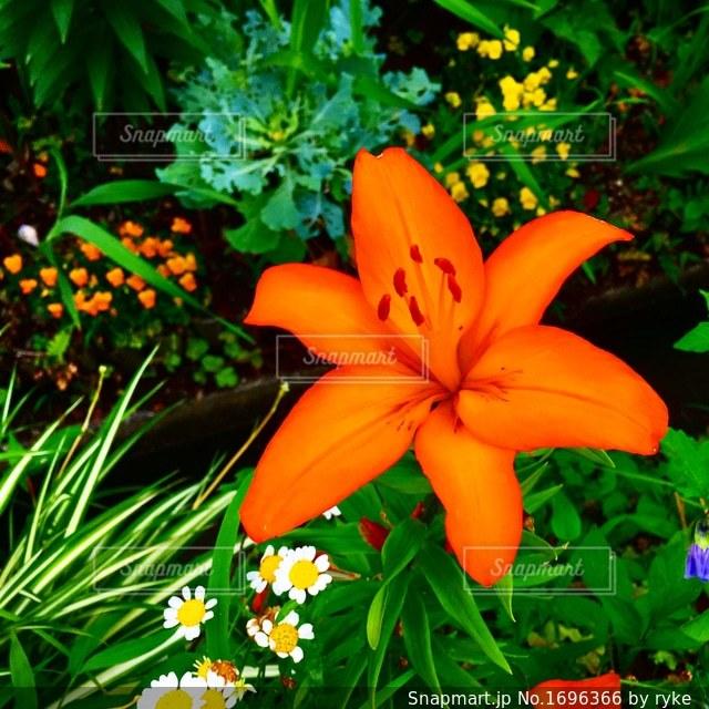 オレンジの花の写真・画像素材[1696366]