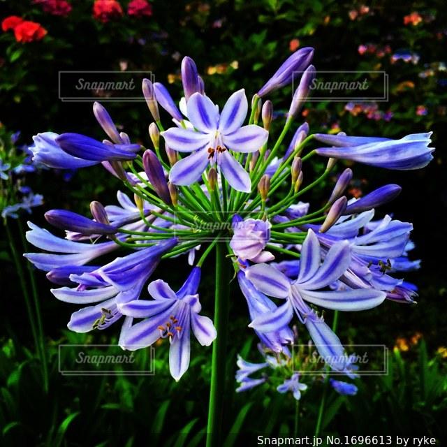 紫の花の写真・画像素材[1696613]