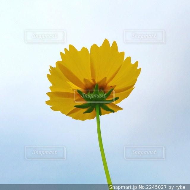 下から見上げた黄色い花の写真・画像素材[2245027]