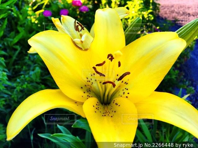 黄色い花の写真・画像素材[2266448]