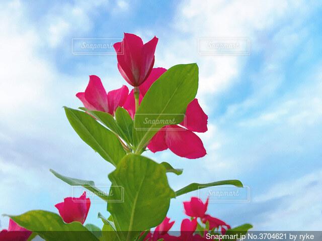 見上げた赤い花の写真・画像素材[3704621]