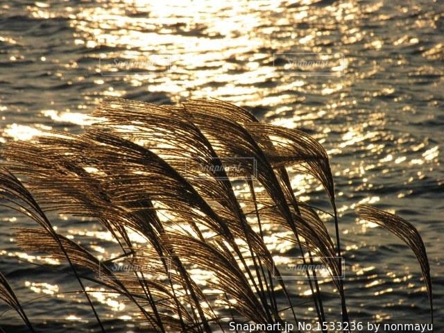 夕日にキラキラなびく美しい琵琶湖のススキの写真・画像素材[1533236]