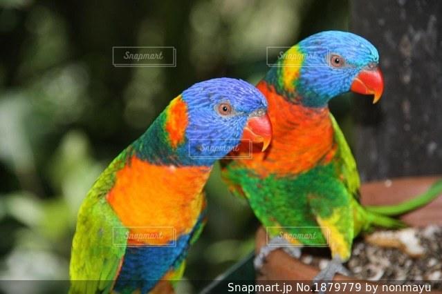 オーストラリアのカラフルな鳥レインボーロリキートの写真・画像素材[1879779]