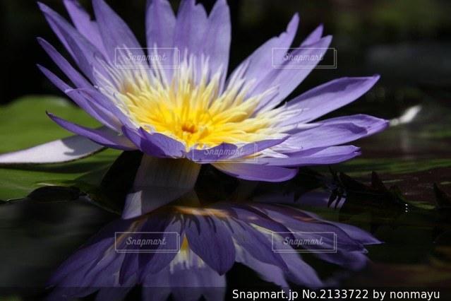 映り込みが美しい神秘的な睡蓮の写真・画像素材[2133722]