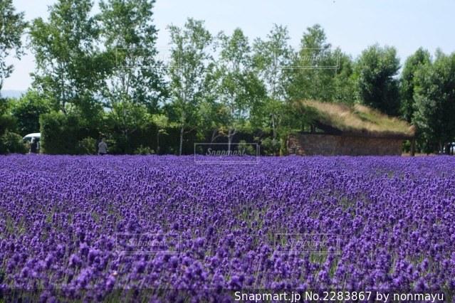 美しい富良野のラベンダー畑の写真・画像素材[2283867]
