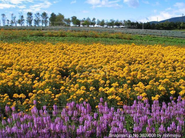 ひるがの高原の鮮やかなお花畑の写真・画像素材[3839008]