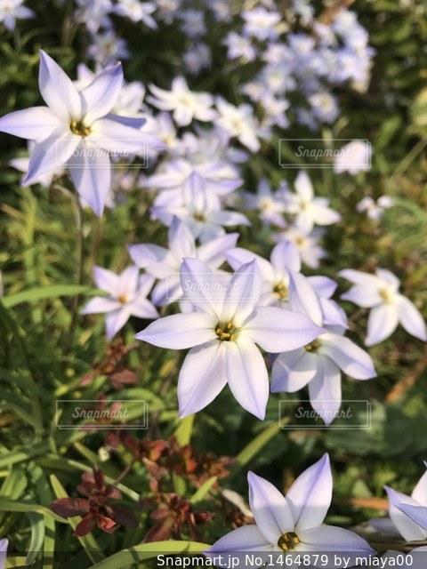 薄紫の花の写真・画像素材[1464879]