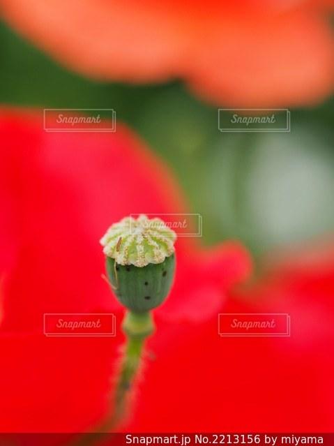 花のクローズアップ(芥子坊主)の写真・画像素材[2213156]