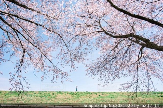 空と雲と桜の写真・画像素材[2081920]