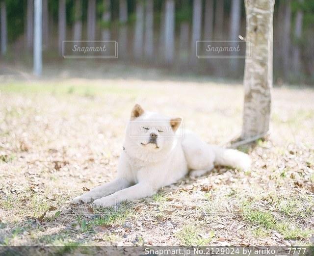 地面に横たわっている秋田犬の写真・画像素材[2129024]