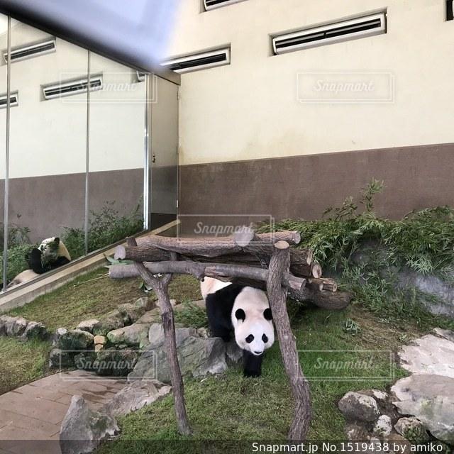 パンダの写真・画像素材[1519438]