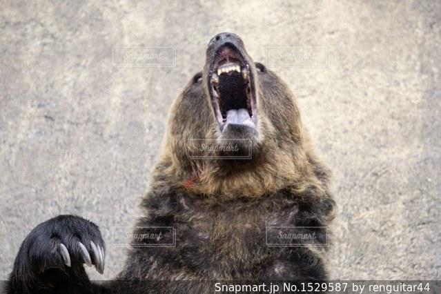 起こるクマさんの写真・画像素材[1529587]