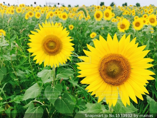ひまわり畑の写真・画像素材[1533932]