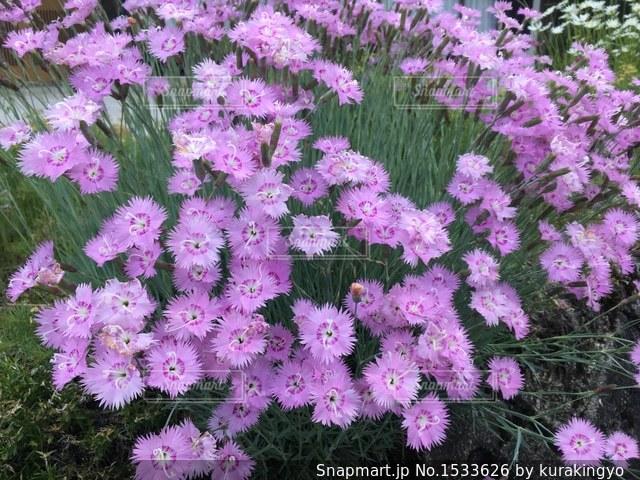 なでしこの花の写真・画像素材[1533626]