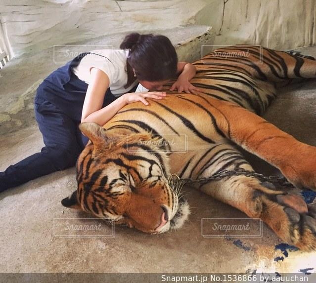 トラにKissの写真・画像素材[1536866]