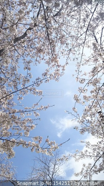 桜の下から見上げた青空の写真・画像素材[1542517]