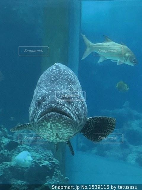 ブサカワ魚の写真・画像素材[1539116]