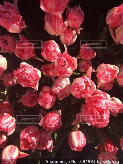 早咲きチューリップの写真・画像素材[1694981]