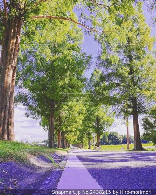 ローアングルからの並木道の写真・画像素材[2438215]