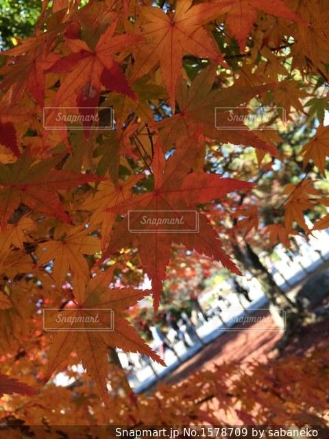 紅葉の写真・画像素材[1578709]