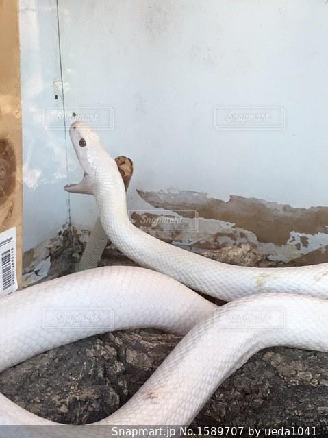 白蛇さまの写真・画像素材[1589707]