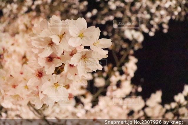 夜桜の写真・画像素材[2307926]
