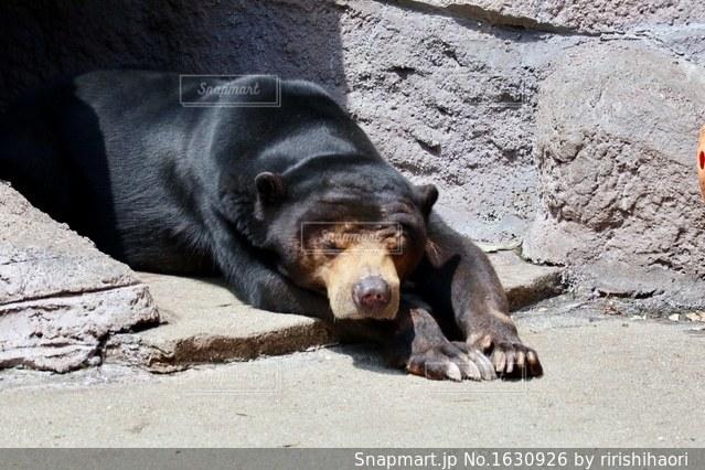 お昼寝中のクマの写真・画像素材[1630926]