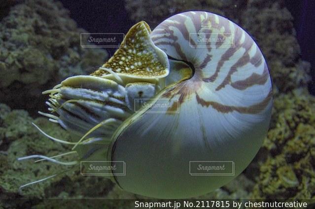オウムガイ すみだ水族館の写真・画像素材[2117815]