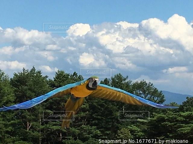 滑空する大きな青いインコの写真・画像素材[1677671]