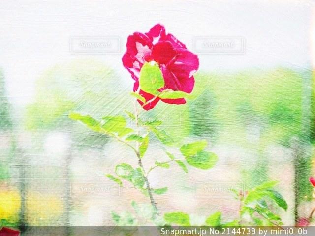 薔薇の写真・画像素材[2144738]