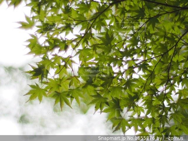 新緑の写真・画像素材[1655876]