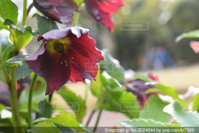 濃い紫のクリスマスローズの写真・画像素材[3024644]